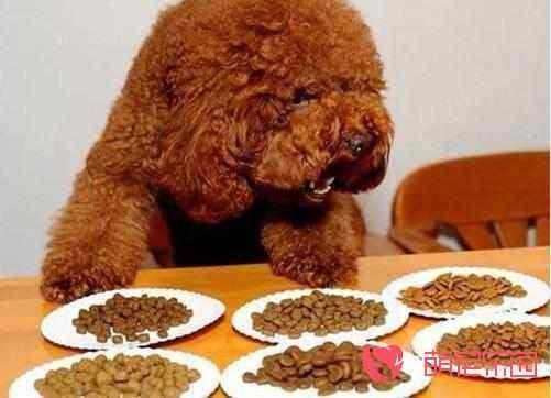 贵宾犬吃什么能让毛发变好